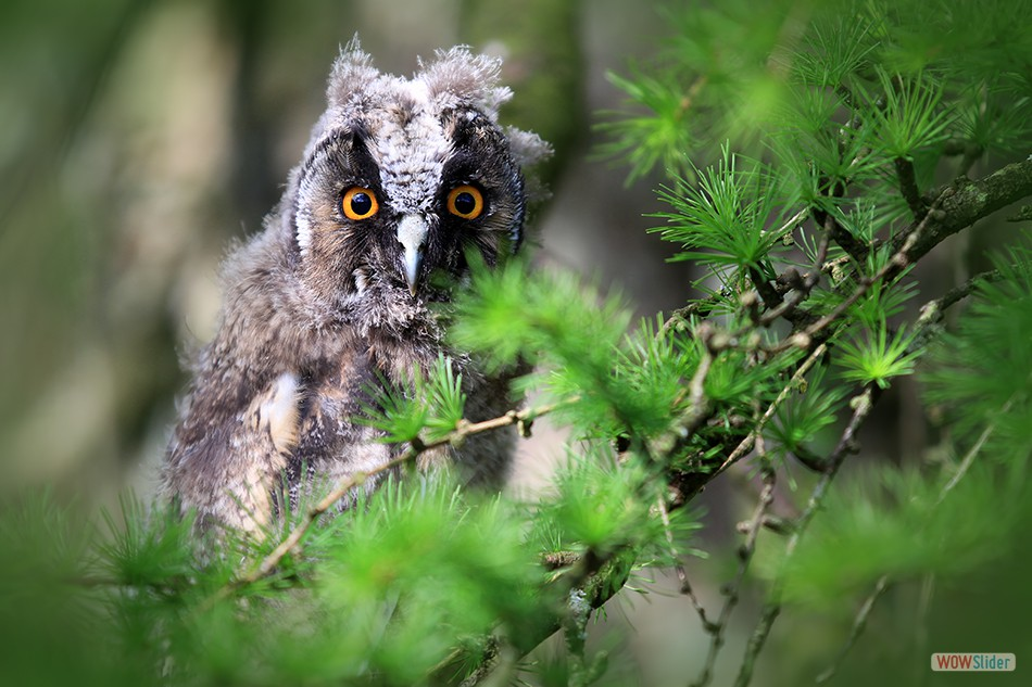 Long Eared Owlet