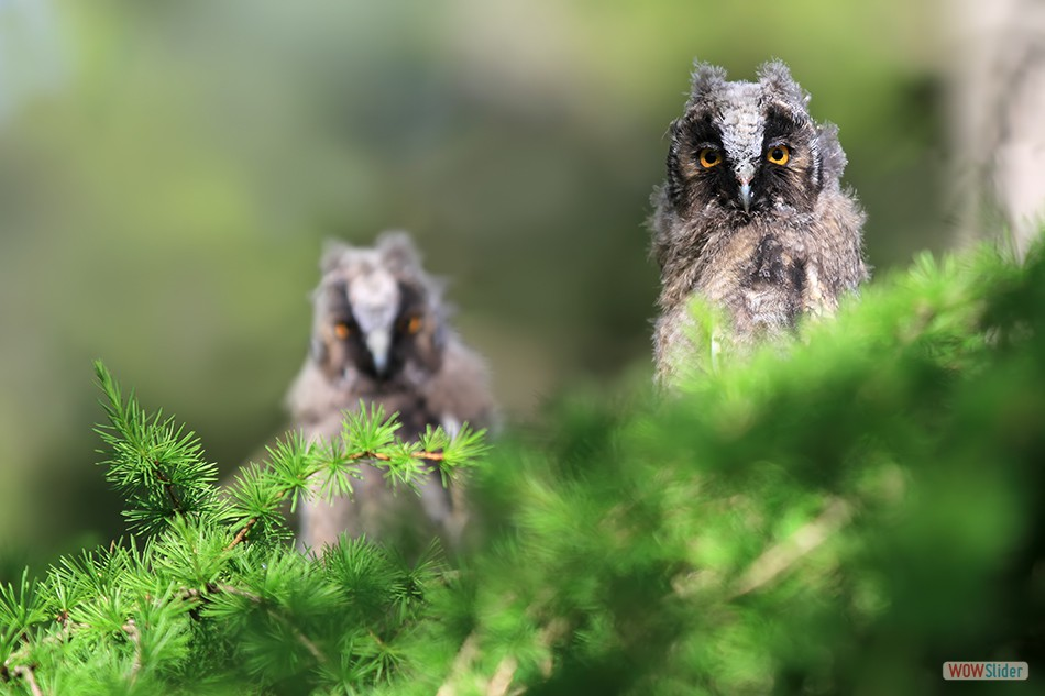 Long Eared Owlets