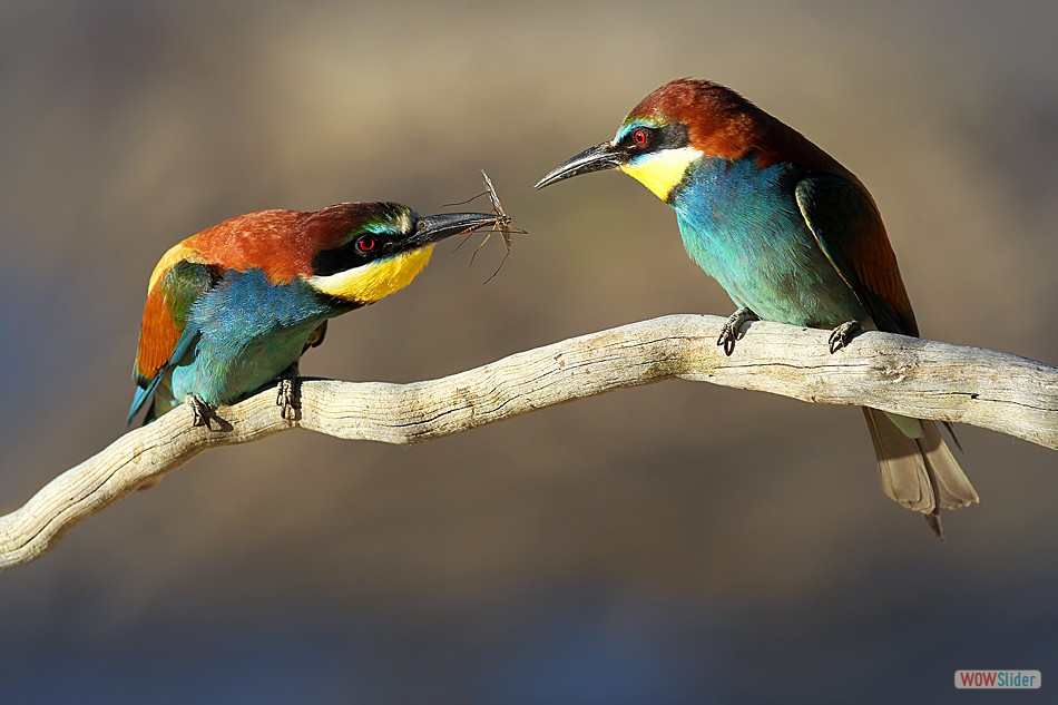Courting Bee-eater's