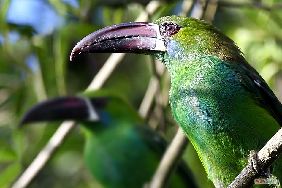 Red Rumped Toucanet